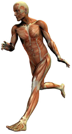 Graphic showing musculature of man running
