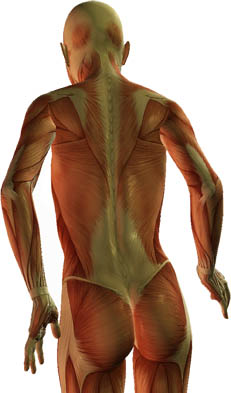 Image of back musculature